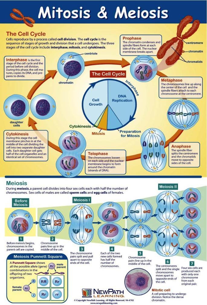 Mitosis and Meiosis – Mitosis and Meiosis Worksheet