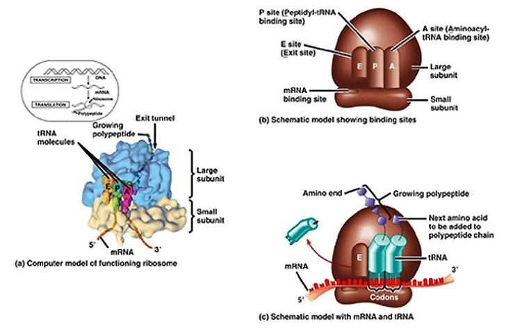 Images Of Labelled Diagram Of Ribosomes Spacehero